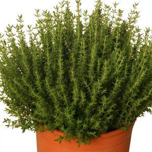 Thyme (Organic)